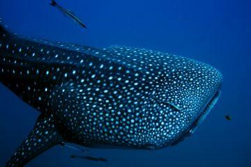 Tiburón Ballena - Excursiones en la Riviera Maya
